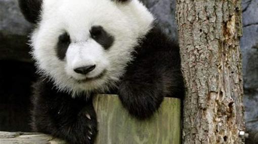 Osa panda nacida en Estados Unidos recibirá clases de chino