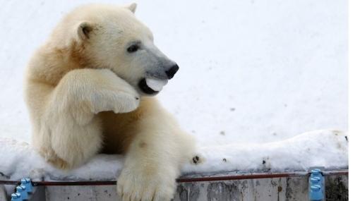 Osos polares siguen en peligro: fracasó propuesta para prohibir el comercio de sus pieles