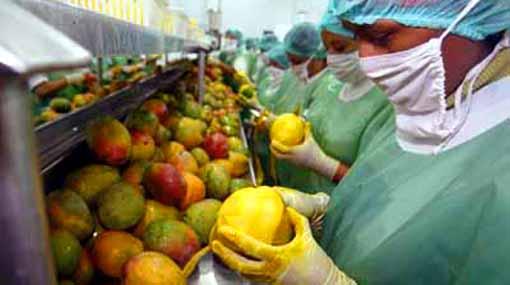 Exportación de mango peruano alcanzó las 100.000 toneladas métricas en campaña 2009-2010