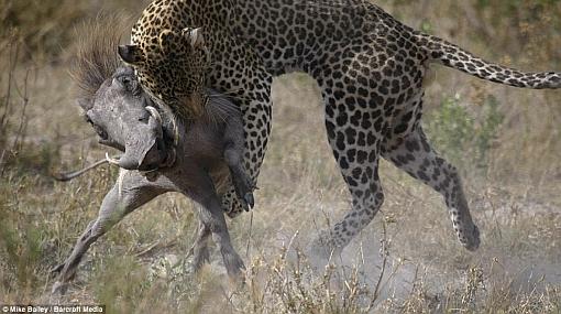 Naturaleza salvaje: imágenes captaron a un jabalí atacado por un leopardo
