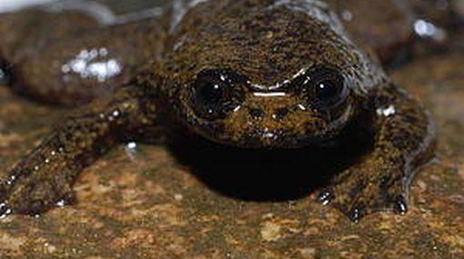 """Nuevas especies: una rana sin pulmones, el insecto más grande del mundo y un caracol """"cupido"""""""