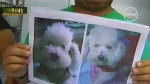 """Apareció una de las mascotas robadas por presuntos extorsionadores, el gato """"Merlín"""" - Noticias de extorsión"""