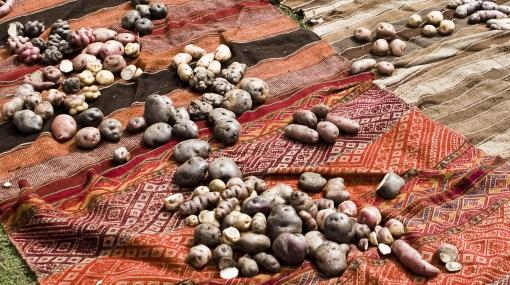 De los Andes a Lima: este fin de semana campesinos venderán sus papas nativas