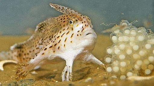 """Descubren nuevas especies de peces que caminan con las """"manos"""""""
