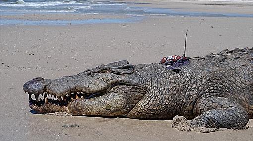 Crece población de cocodrilos en peligro de extinción
