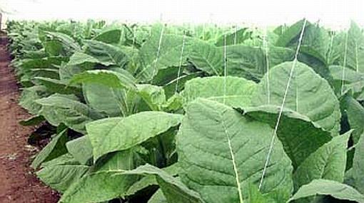 Científicos crearon una réplica de colágeno humano gracias al tabaco