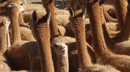 A esquilar vicuñas: la tradicional fiesta del Chaccu arranca mañana en Ayacucho