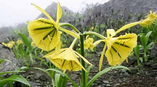 Nuesta flor de Amancaes se encuentra en peligro de extinción