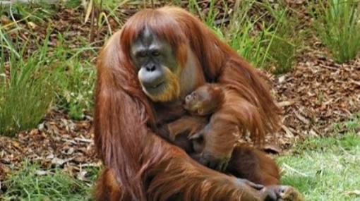 Este año han sido asesinados 750 orangutanes en Indonesia