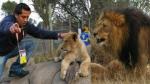 Elcomercio.pe vivió una experiencia rodeado de leones en Sudáfrica - Noticias de david reyes enviado