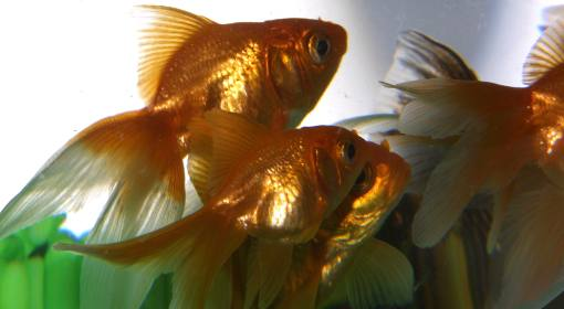 Los peces se comunican entre sí mediante sonidos, según experto neozelandés