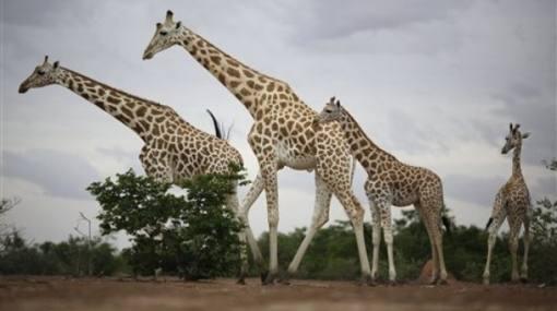 Las poblaciones de grandes mamíferos se han reducido un 60% en los parques nacionales de África