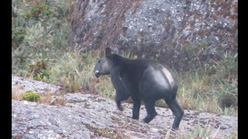En Cajamarca registraron imágenes de un tapir de altura, animal en grave riesgo de extinción