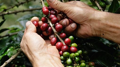 Buscan que en el Perú el consumo local de café pase de 5% a 15%