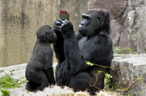Los gorilas también disfrutan de los videojuegos