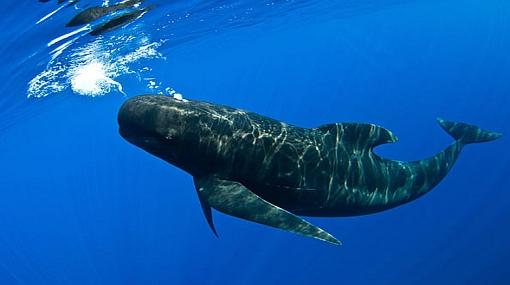 Sorprendente: buzos fotografiaron a una ballena piloto sonriendo