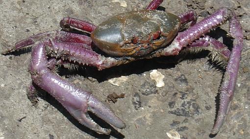 Veda del cangrejo rojo del manglar de Tumbes se inicia el 15 de agosto