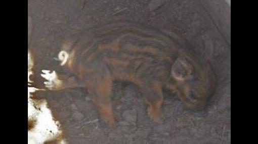 Un cerdo con seis patas nació en Argentina