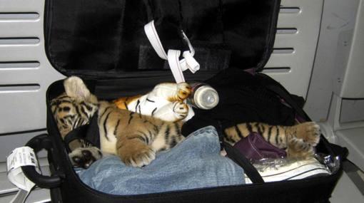 Hallan un tigre de tres meses escondido en una maleta en el aeropuerto de Tailandia
