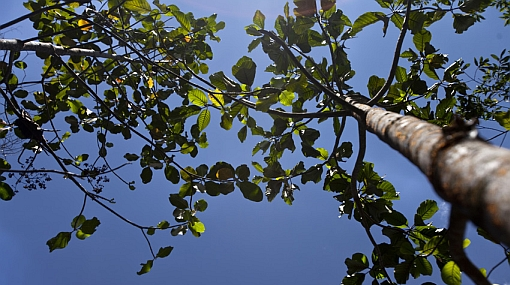 Para salvar al árbol de la quina: la especie vegetal patria en peligro de extinción