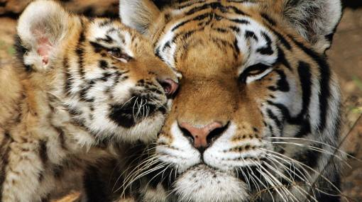 China y Rusia firmaron acuerdo para proteger al tigre siberiano