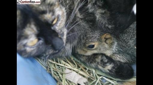Una gata adoptó y dio de lactar a una cría ardilla