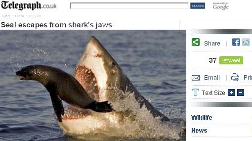 Contra la ley del más fuerte: una foca escapó del ataque de un tiburón blanco