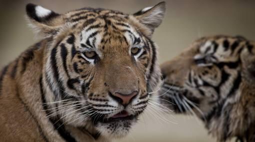 Solo quedan 3.500 tigres en el mundo, según estudio