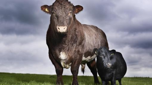 La vaca más pequeña del mundo mide 84 centímetros