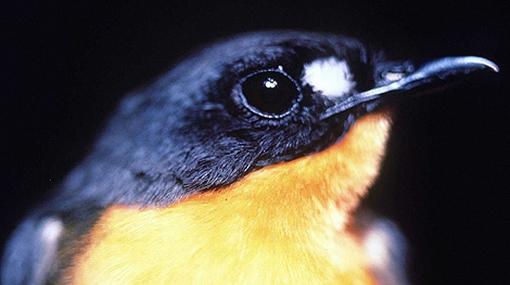 Luz artificial influye en aparamiento de aves cantoras, aseguran científicos