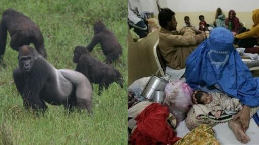 La malaria fue transmitida a los seres humanos por gorilas