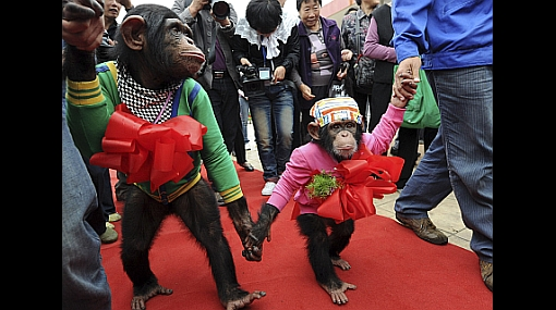 Dos monos se dieron el 'sí' en un zoológico chino