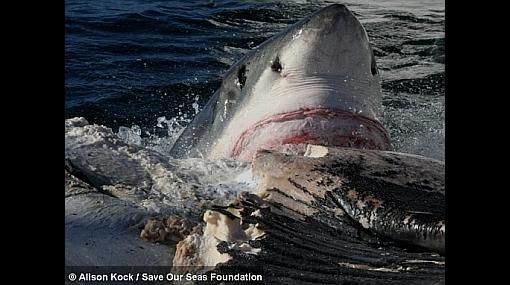 FOTOS: 30 tiburones devoraron a una ballena de 11 metros