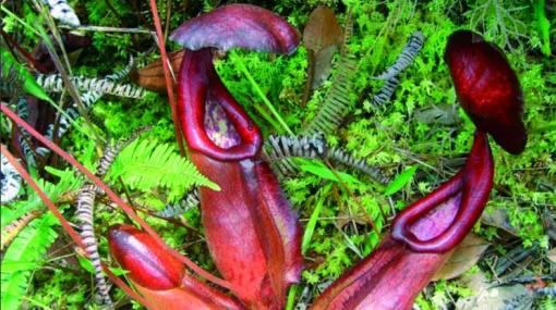 """Nuevos hallazgos: Un """"pez vampiro"""", una planta carnívora de 7 metros y 143 especies más"""
