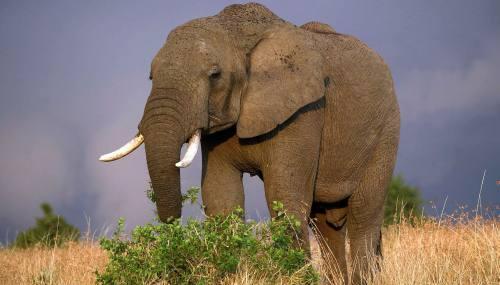 Excremento de elefante serviría para crear biocombustible