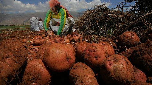 Invertirán más de 500 mil soles para incrementar la siembra de papa en Pataz