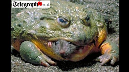 Foto: el preciso instante en que una rana toro africana se come a un ratón
