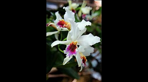 FOTOS: Moyobamba, el jardín bendito de las orquídeas