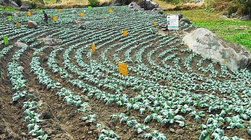 Empresa japonesa capacitará a agricultores lambayecanos en siembra de brócoli ecológico