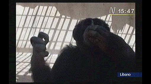 Trasladaron a Brasil a un chimpancé fumador que vivía en un zoológico del Líbano