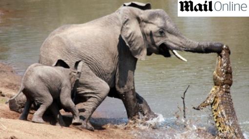 IMÁGENES: una madre elefante lucha por su vida contra un feroz cocodrilo