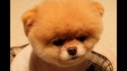 Conozca al perro más lindo del mundo: tiene 500 mil seguidores en Facebook
