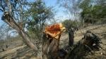 La Libertad: tala ilegal de algarrobos amenaza bosque El Cañoncillo - Noticias de universidad feredico villarreal