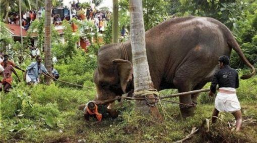 Un hombre muere pisoteado por una manada de elefantes en Malasia