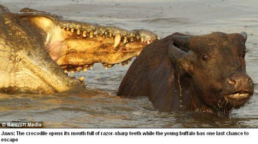 Impactante: el momento en que una cría de búfalo es atacada por un cocodrilo frente a su madre