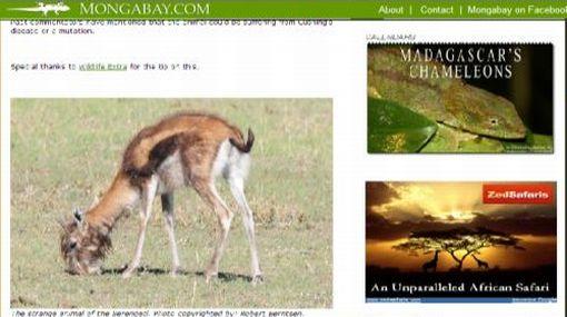 """¿Antílope o león?: Conozca al """"enigma del Serengueti"""""""