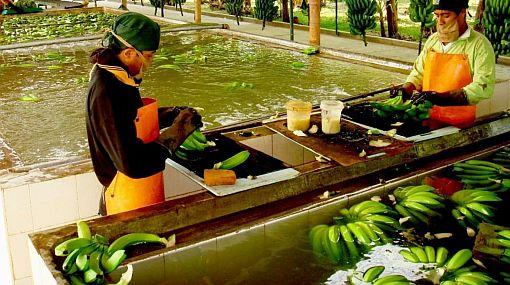 Lluvias en Piura: Exportación de banano orgánico se ve golpeada
