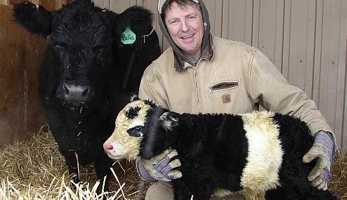 """Insólito: nació una """"vaca panda"""" en Estados Unidos"""