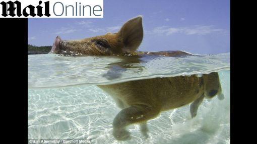 ¿Vida de cerdo? Mascotas nadan a placer y tienen su isla en Bahamas