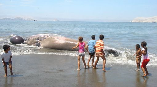 Una ballena de más de 10 metros de longitud quedó varada en Chimbote